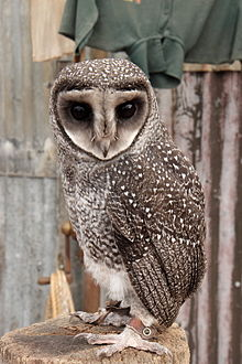 Greatersootyowl