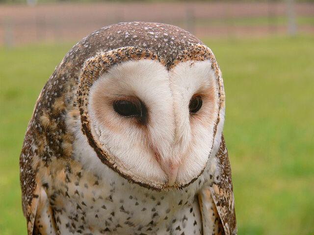 File:Masked Owl.jpg