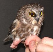 1 Northern Saw-whet Owl