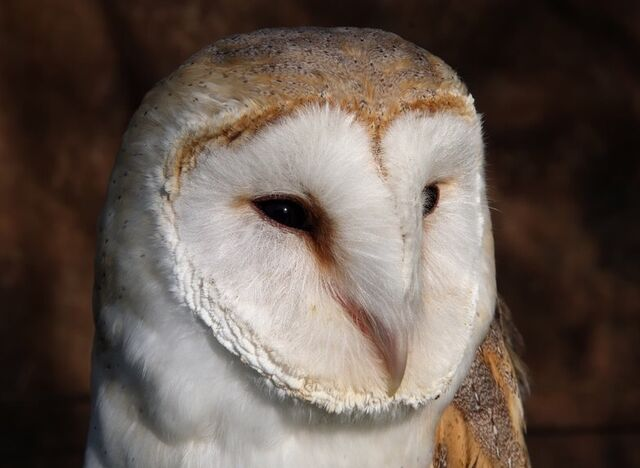 File:Barn owl 0561.JPG