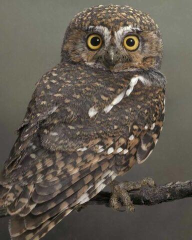 File:Elf owl 1943.JPG