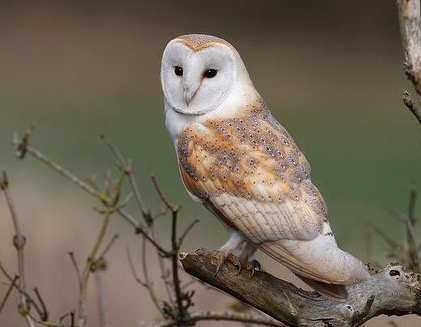 File:Barn owl 0542.JPG