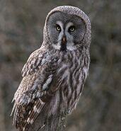 Great grey owl 0552