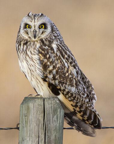 File:Possible-male-short-eared-owl.jpg