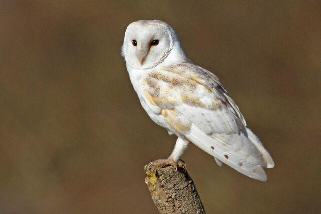 File:Barn owl 1381.JPG