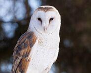 Barn owl 0544
