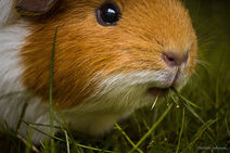 Guinea pig doing what they do best