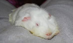 File:Lethal white guinea pig.jpg