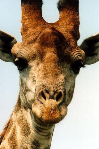 File:Giraffe.jpg