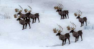 File:Caribou herd drakkar lake.jpg