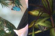 Sanctum butterfly