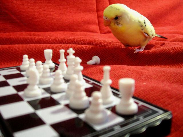 File:Pensive Parakeet.jpg