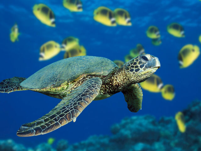 File:Green Sea Turtle.jpg