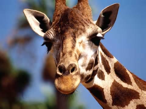 File:Mr. giraffe.jpg