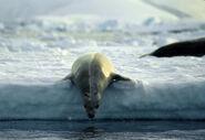 Antarctic, Crabeater Seal (js) 9