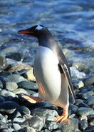 Gentoo Penguin at Cooper Bay, South Georgia