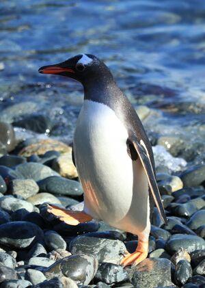 Gentoo Penguin at Cooper Bay, South Georgia