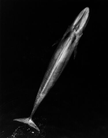 File:Blue Whale 001 body bw.jpg