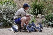 Fairy penguin feeding - melbourne zoo