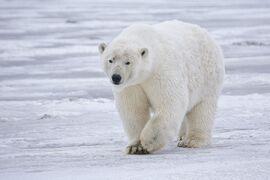 Polar Bear - Alaska