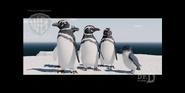 Strike - Little penguin want to hug a Magellanic penguin