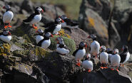 Flickr - Rainbirder - Puffin gang