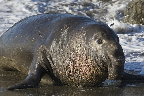File:Northern Elephant Seal, Piedras Blancas, San Simeon, CA 02feb2009.jpg