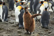 King Penguin Chick at Salisbury Plain (5719383447)