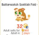 Butterscotch Scottish Fold Cat