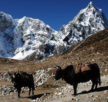 Duglha yaks
