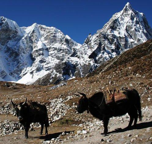 File:Duglha yaks.jpg