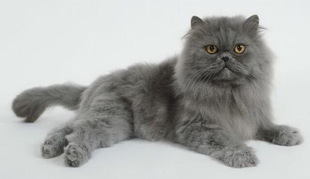 File:Blue-persian-cat-1-.jpg