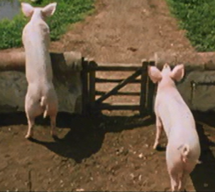 File:Weasley family pigs.png