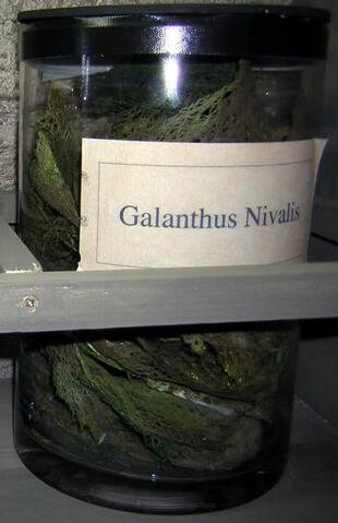 File:Galanthus Nivalis.jpg