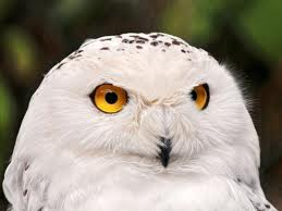File:Animals Birds White Owl 030551.jpg