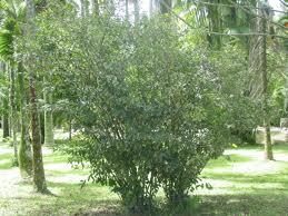 File:Tea plant.jpg