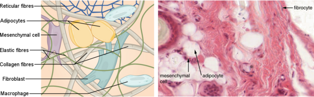 File:Connective tissue.png