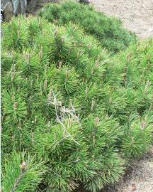 Archivo:Pinusmugo.png