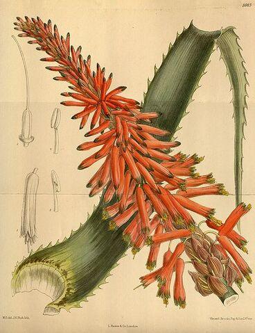 Archivo:Curtis-Aloe arborescens natalensis 142-8663.jpg