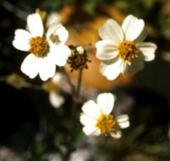 Flor de Aceitilla (Bidens leucantha Willd.)Foto por G.A. Cooper @ USDA-NRCS PLANTS Database