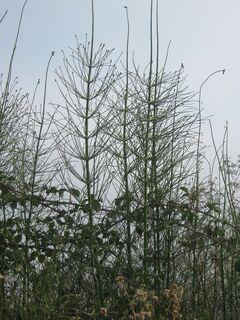 cola de caballo (Equisetum giganteum L.)