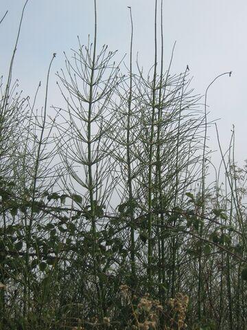 Archivo:Equisetum giganteum xc 1602.jpg