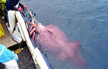Colossal squid caught in February 2007