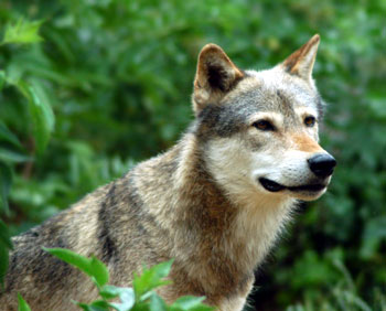 File:Grey-wolf.jpg
