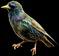 HO BriggsRoseGarden Starling-icon