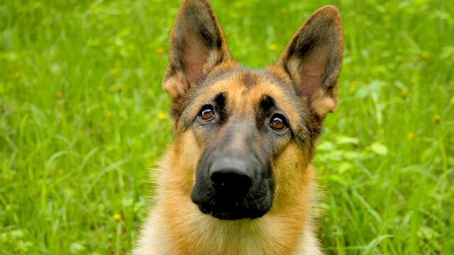 File:German Shepherd.jpg