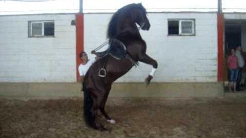 SpanishHorseMatters.com Spanish Andalusian horse performing Alta Escuela
