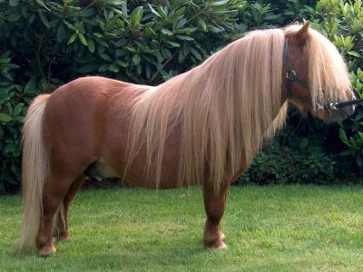 File:Shetland Pony 6489794.jpg