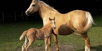 Danube Delta Horse