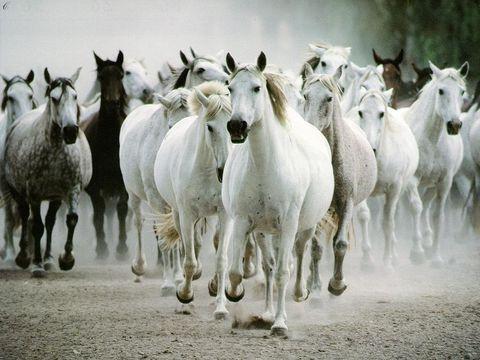 File:Runninghorses.jpg